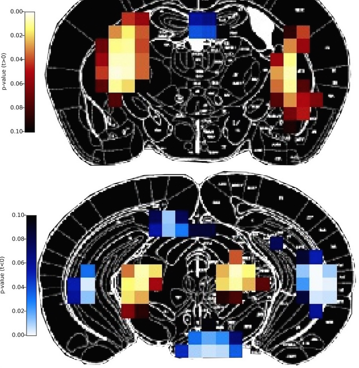 The Multimodal Imaging of Brain Metabolism group combines invasive and non-invasive methods for the in vivo assessment of brain metabolism to study brain function under both healthy and pathological conditions. For this purpose, we use a dedicated small animal positron emission tomography (PET) and µCT scanner, which we combine with laser speckle imaging LSI, RGB reflectometry, rapid sampling microdialysis, and electrophysiological methods. In close collaboration with the in vivo NMR group, we provide a portfolio of cutting-edge in vivo imaging modalities that are also integral to research projects of several other groups at the MPI for Metabolism Research. In addition, we also perform clinical studies using a dedicated brain PET scanner and, in collaboration with the translational neurocircuitry group, MRI. Our research activities cover three major topics: 1. defining demand-related regulation of brain energy metabolism2. identifying network activations3. understanding altered regulation of brain metabolism in pathological conditions.