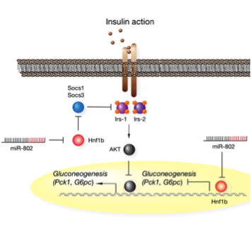 <span>We could recently show that obesity and type 2 diabetes mellitus (T2DM) coincide with increased expression of liver-specific microRNA-802 (miR-802) in humans and mice. Using </span><em>in vivo</em><span> loss- and gain-of-function approaches we delineated a novel glucoregulatory signaling axis that couples elevated miR-802 to pathological silencing of the diabetes risk gene Hnf1b. Pharmacological inhibition of miR-802 > Hnf1b signaling could thus constitute an enticing novel therapeutic approach for treatment of obesity-associated disorders and T2DM.</span>