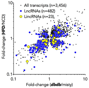 <span>Using Massive Parallele RNA-Sequencing we observed that obesity and T2DM changes expression of hundreds of long, noncoding RNAs (lncRNA) in mice. Employing a spectrum of </span><em>in vitro </em><span>and </span><em>in vivo</em><span> methods we currently aim to identify novel disease-associated, glucoregulatory </span><span>lncRNAs that represent compelling targets for anti-RNA approaches.</span>