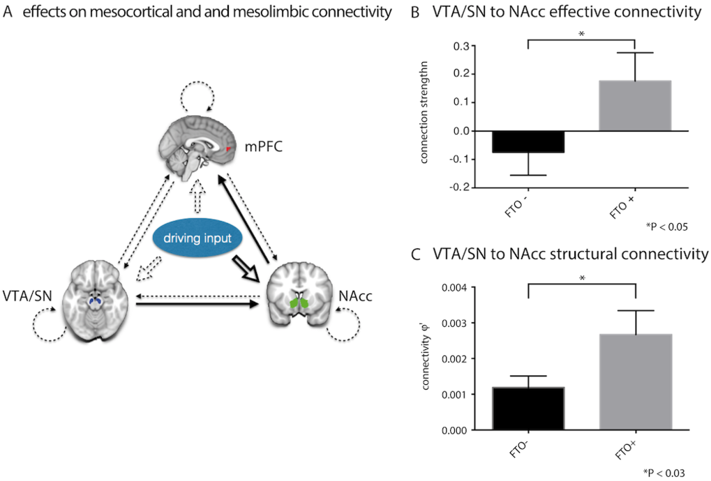 Fig. 2. Variants of FTO affect dopamine-dependent midbrain responses and learning from negative outcomes in humans during a reward learning task.Specifically, FTO variants modulate the connectivity in a basic reward circuit of meso-striato-prefrontal regions (A), where connectional differences are apparent in both brain function (B) and structure (C) already in non-obese individuals, thereby contributing to a mechanistic understanding of why FTO is a predisposing factor for obesity.